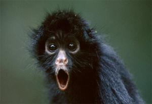 black-spider-monkey-in-awe.